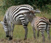 Kenya masai mara safaris